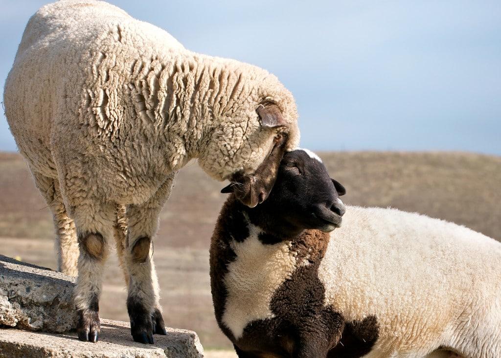 Farm Sanctuary Sheep