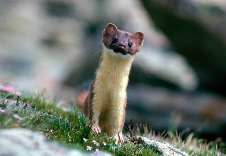 [Image: Weasel.jpg]