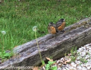 baby_robins2 copy
