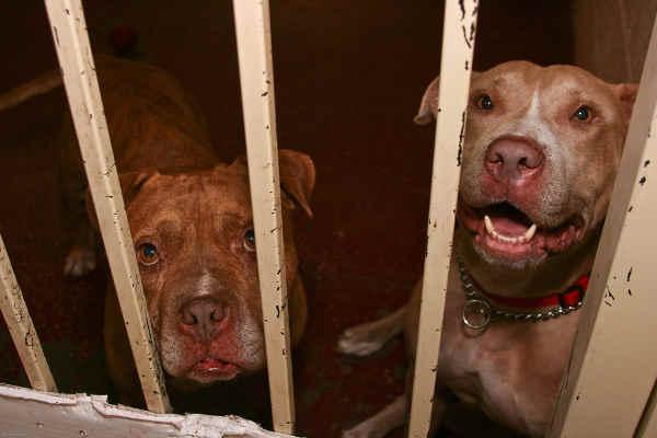 pit bulls behind bars