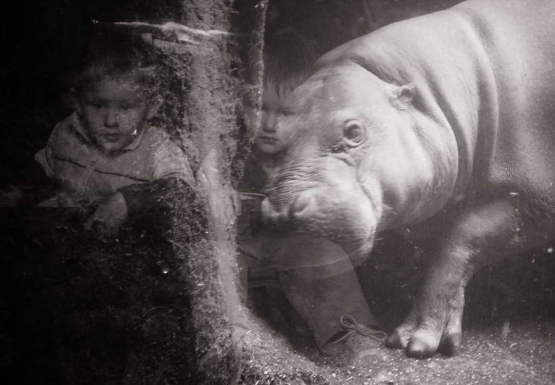 Sad child at zoo looking at a hippopotamus through glass.