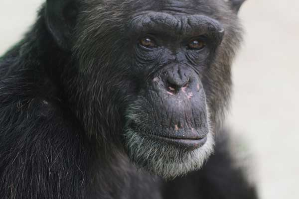 rescue chimp at an animal sanctuary