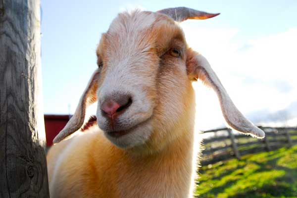 rescue goat at an animal sanctuary
