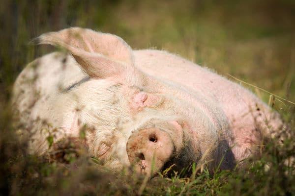 Nancy the Pig