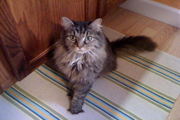 Image of rescue cat Dezzi
