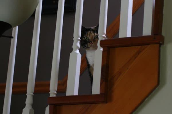 Image of rescue cat Loki