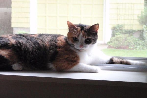Image of rescue cat Scowt