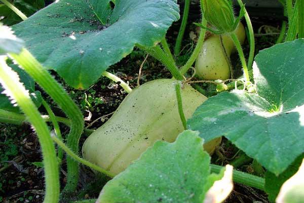 unripe-butternut-squash