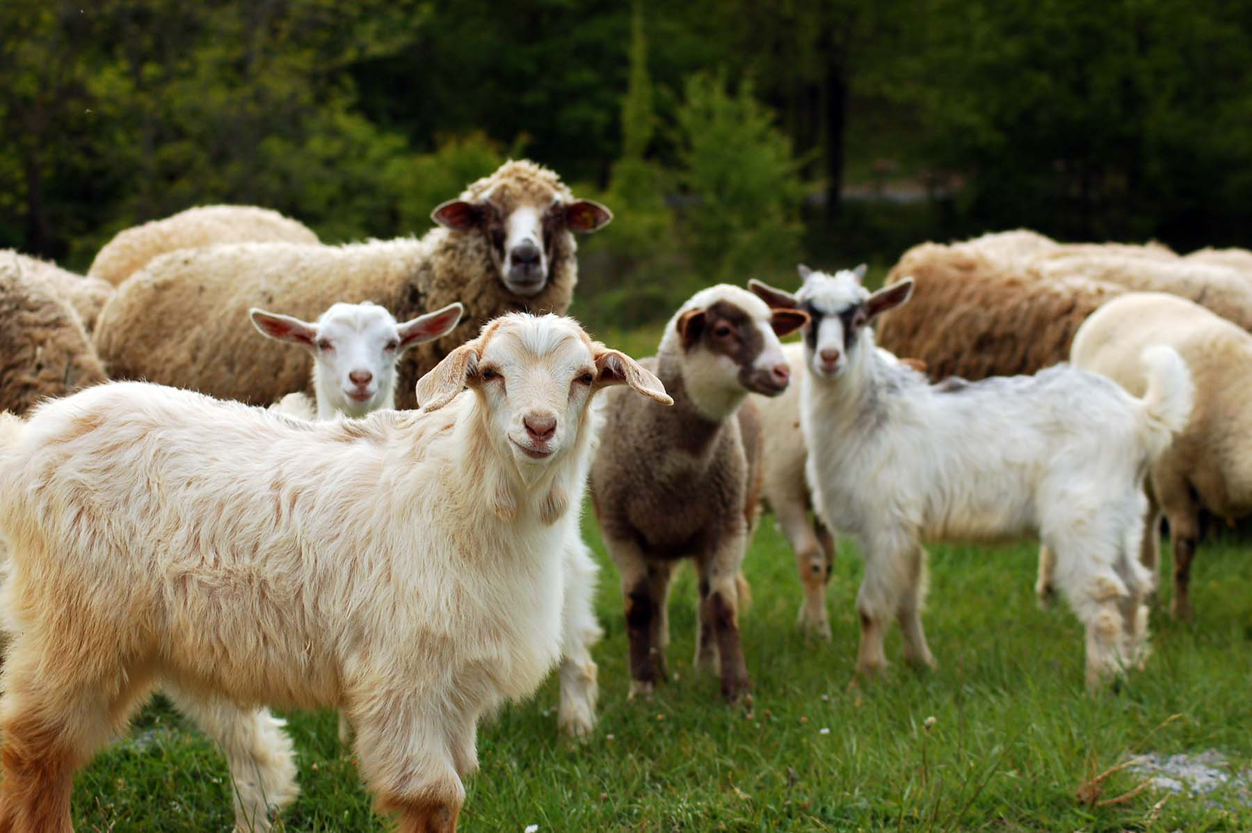 A herd of sheep and goat in a field.