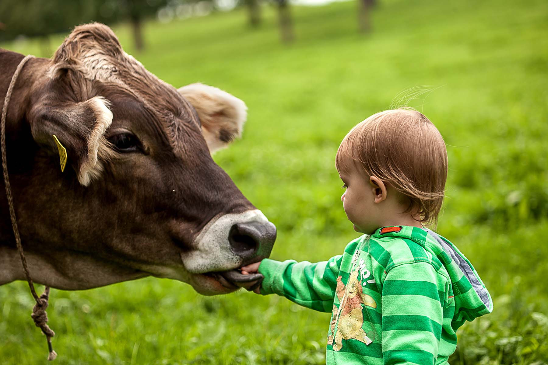 A closeup of a cow in the field kissing a child's outstretched hand.