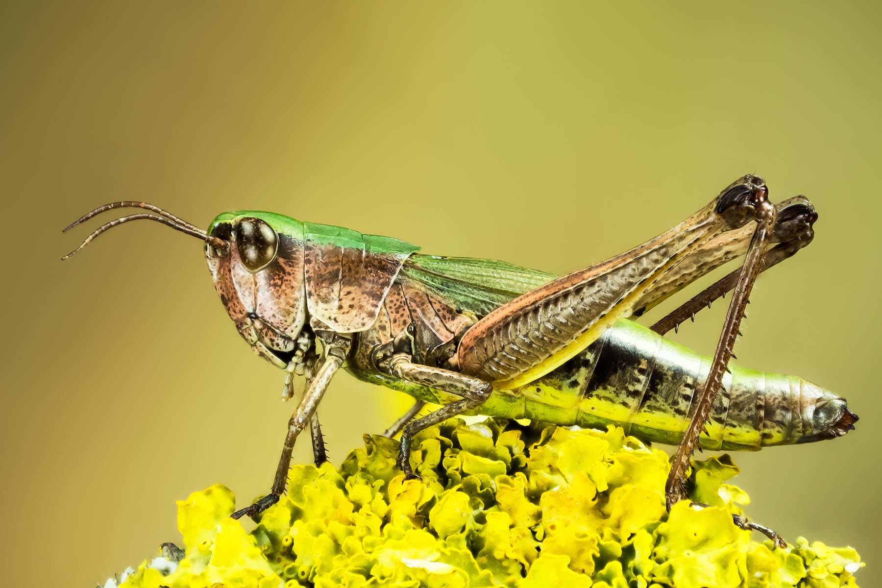 A closeup of a bright green Lesser Marsh Grasshopper sitting on top of a yellow flower.