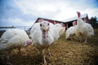 Rescued Turkeys at Farm Sanctuary by JoAnne McArthur | Your Daily Vegan