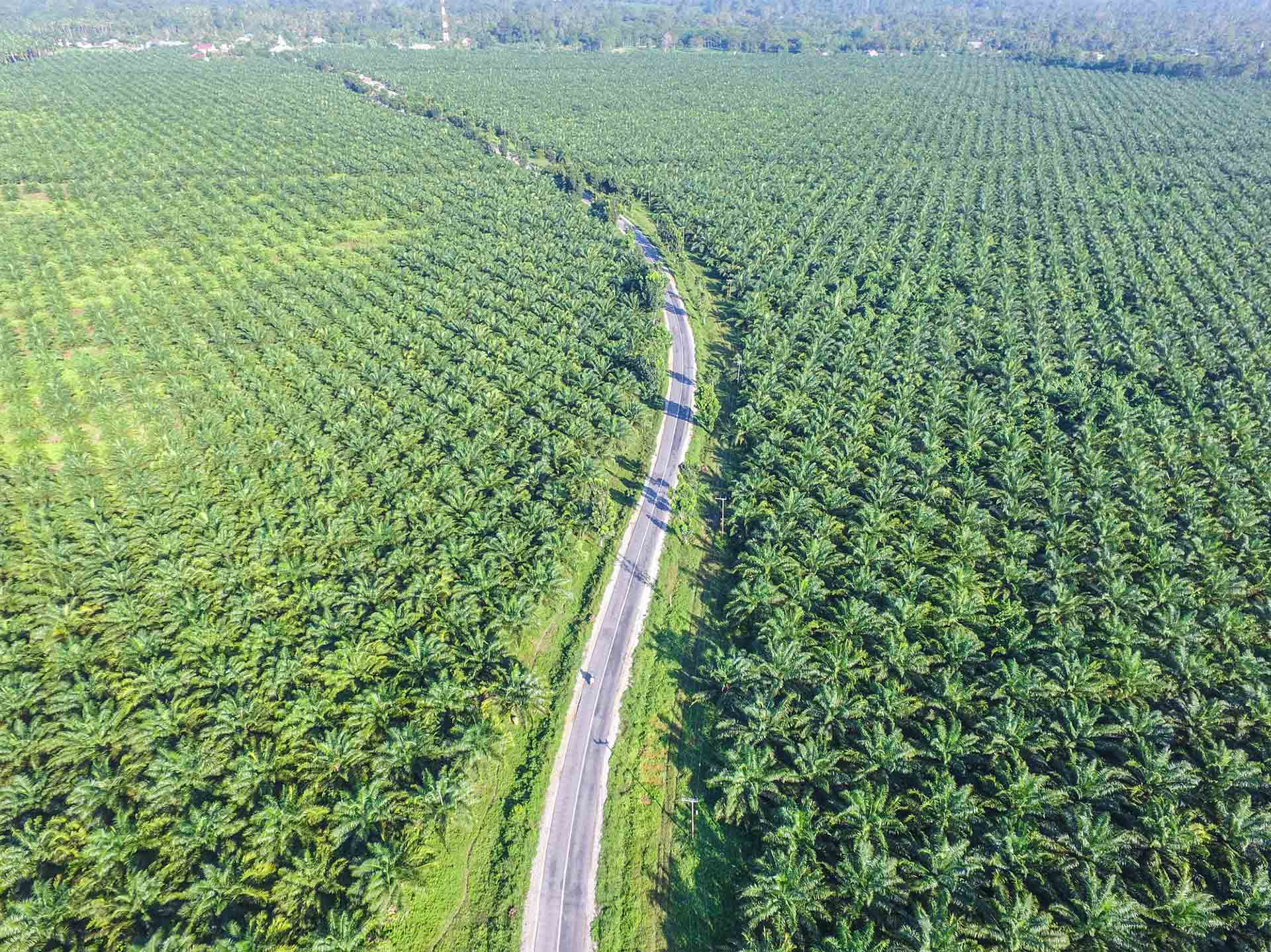 An overhead view of a large oil palm farm.
