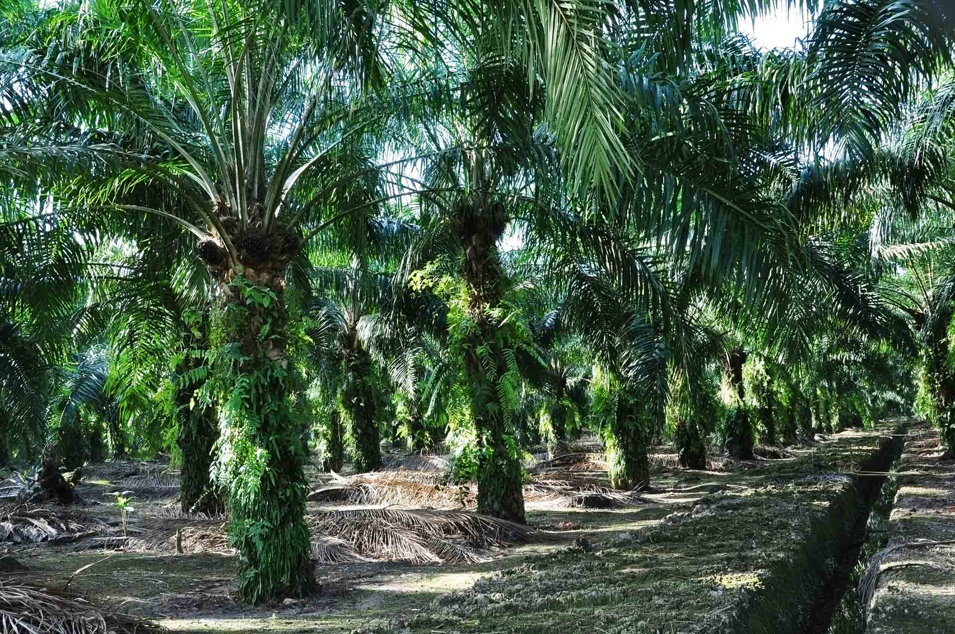 A grove of oil palm trees.
