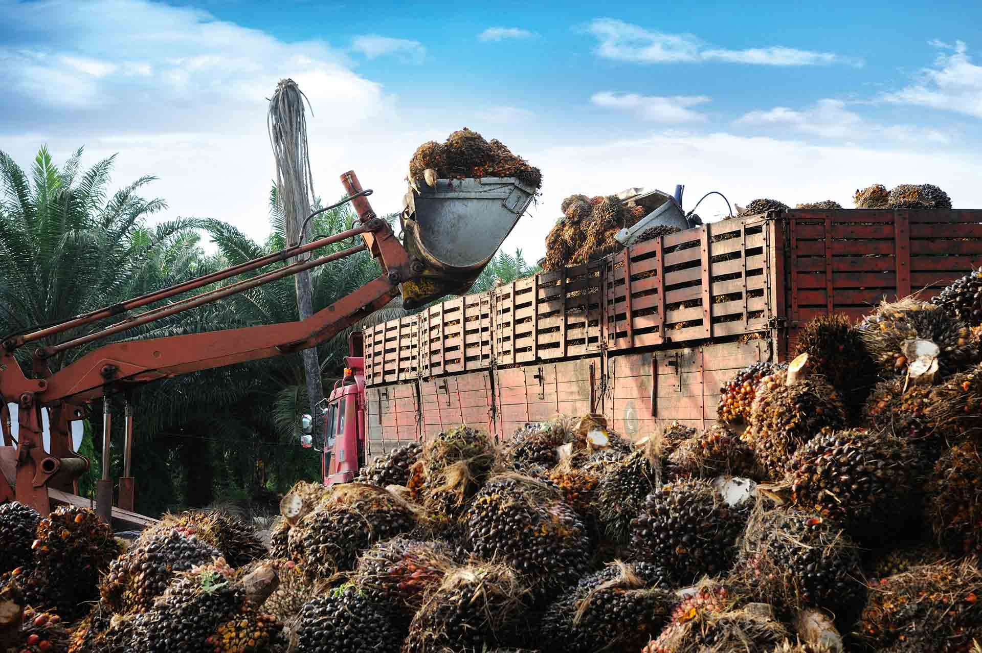 A bulldozer harvesting oil palm fruits.