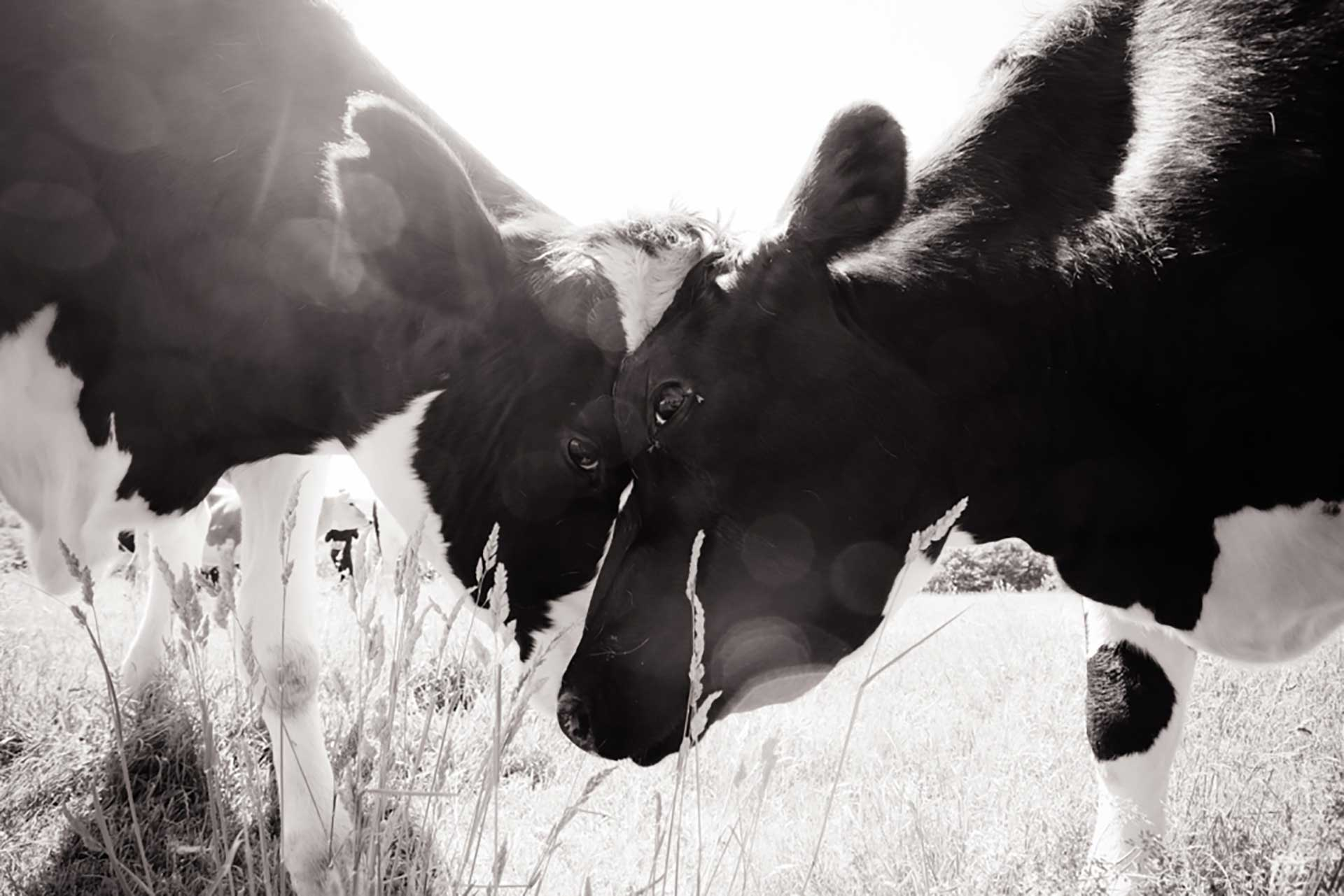 A black and white closeup photo of two cows nuzzling each other.
