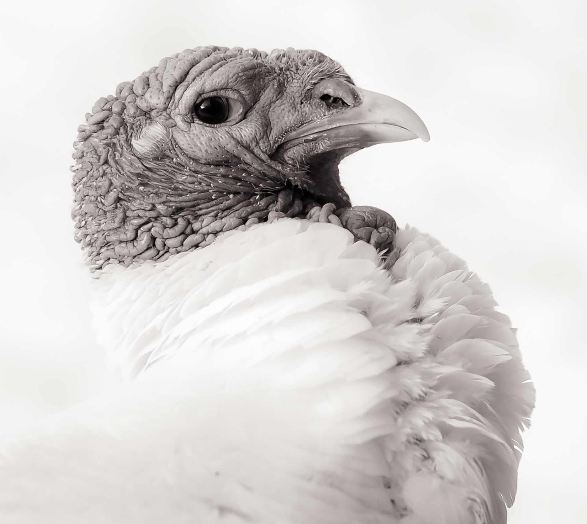 A profile picture of Boydsten, the turkey.