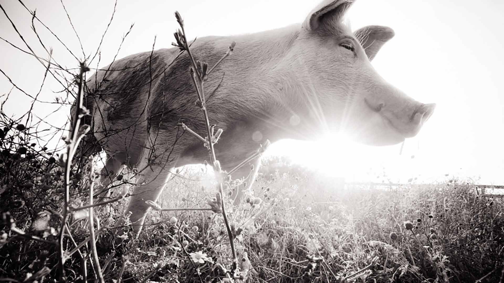 Jane the rescue pig | Sanctuary Spotlight | Your Daily Vegan