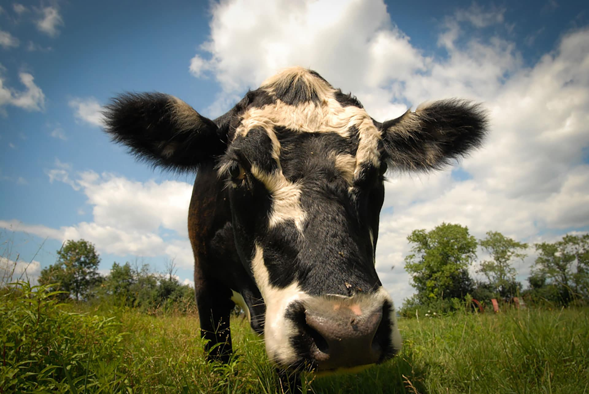 A closeup of a black and white spotted cow in a field of grass.