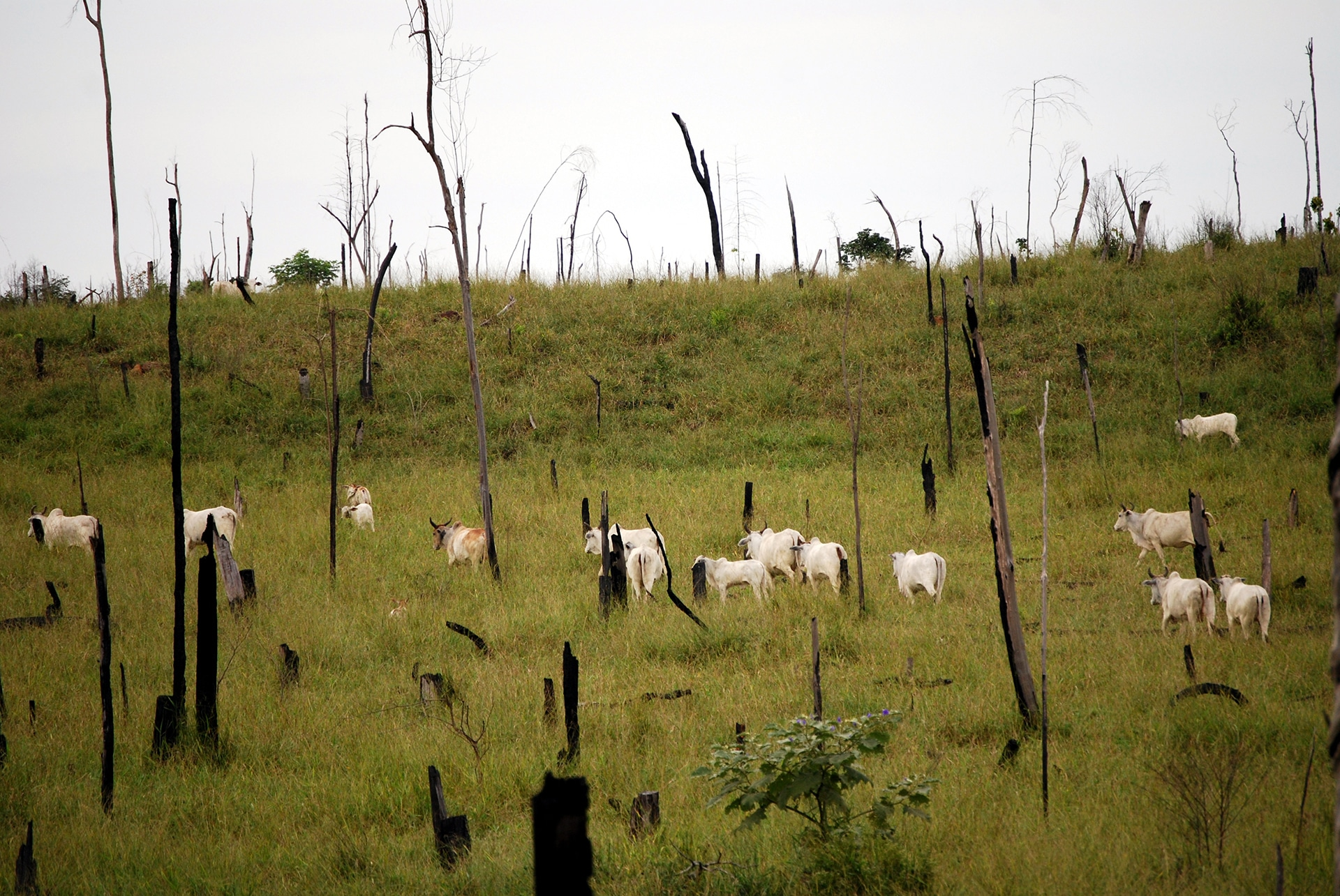 Cattle grazing in deforested Amazon - Veganism & the Environment - Your Daily Vegan