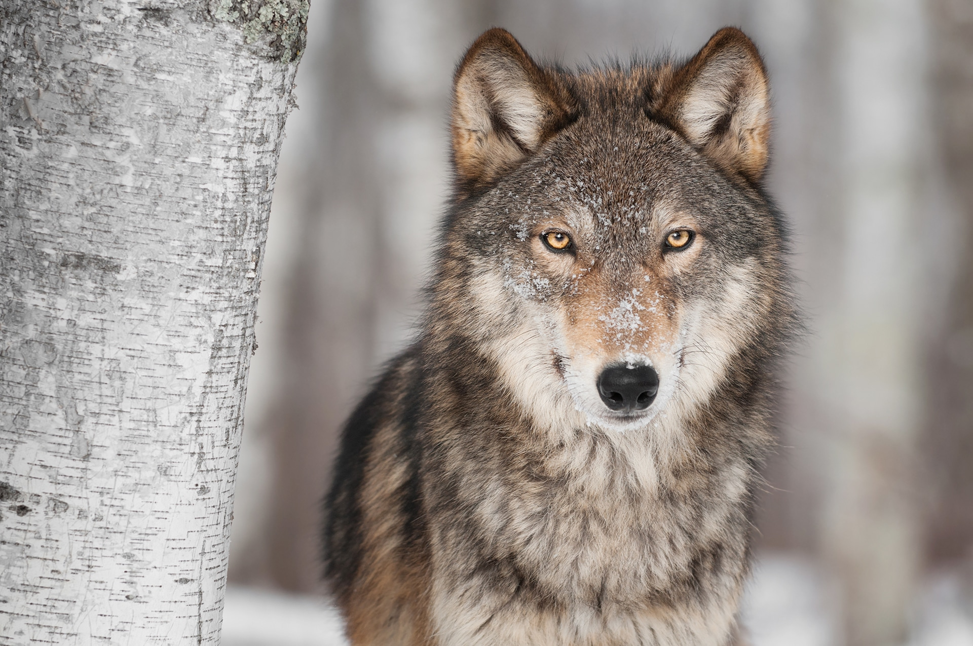 Grey Wolf (Canis lupus) - Veganism & the Environment Guide - Your Daily Vegan
