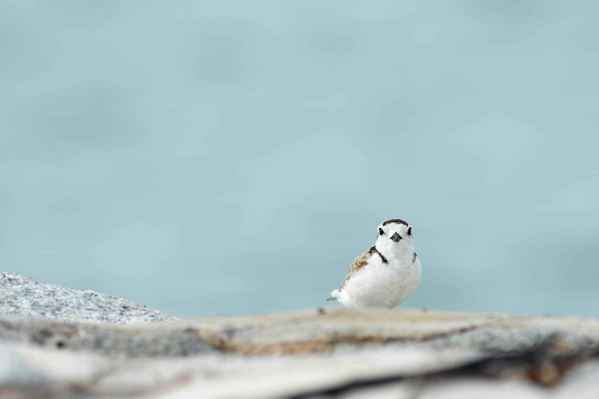 Piping Plover - Veganism & the Environment Guide - Your Daily Vegan