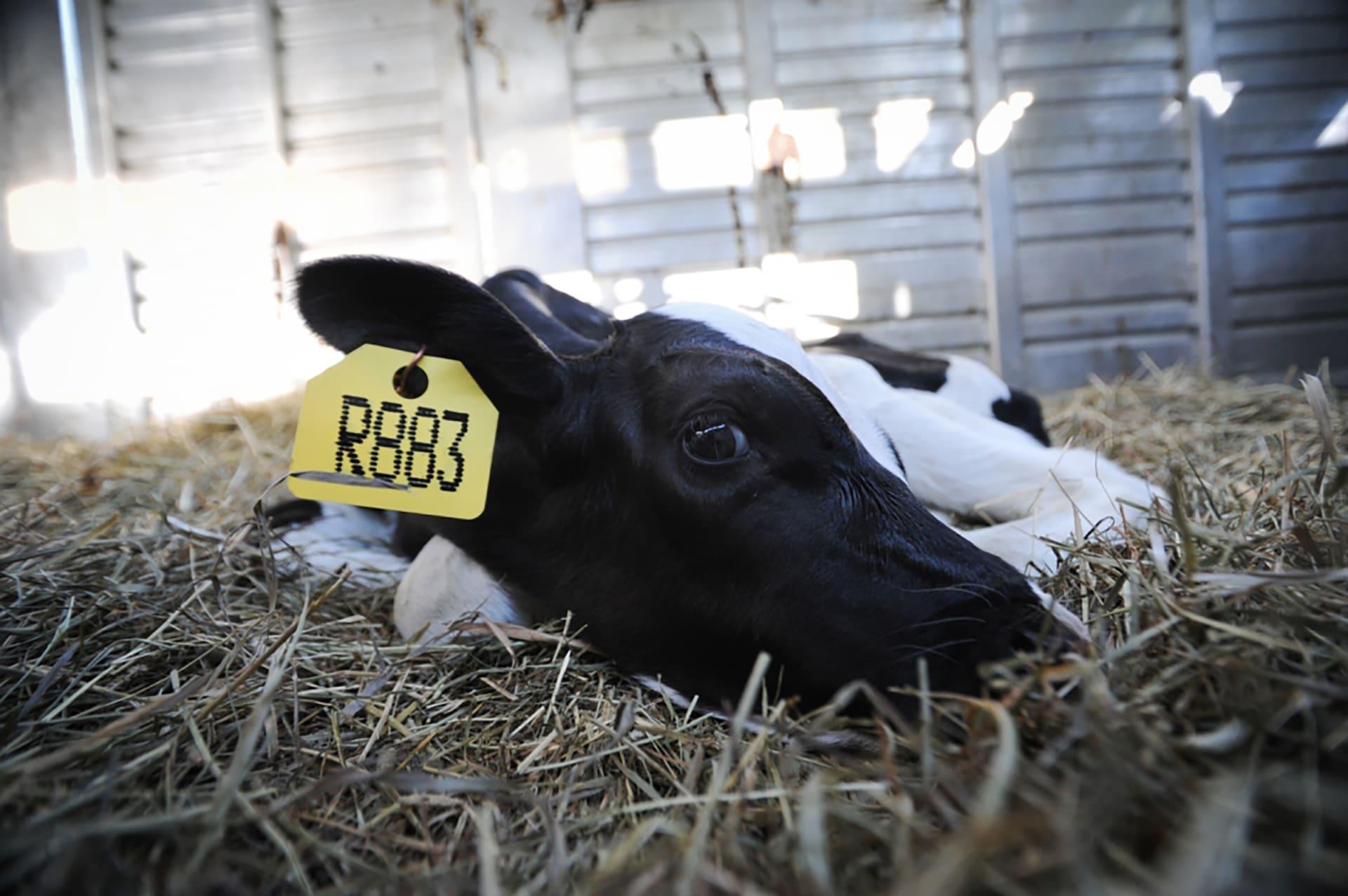 Rescued Dairy Calf (Photo by JoAnne McArthur) - Veganism & the Environment Guide - Your Daily Vegan