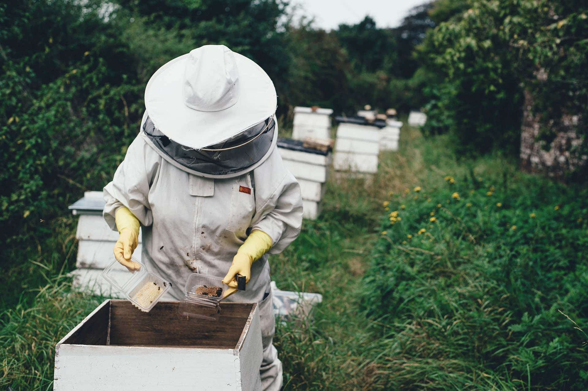 Beekeeper in beekeeping suit examining a tray of bees in a commercial beehive sitting in a wooded area.