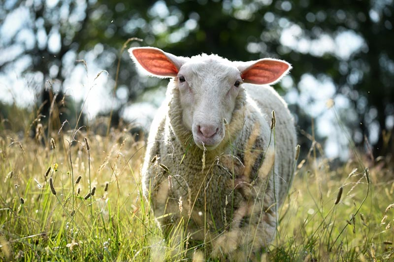 A white rescue sheep standing in the middle of the field on a sunny day.
