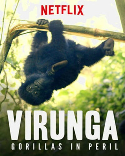 Cover for the film, Virunga: Gorillas in Peril. Features a picture of a gorilla hanging from a tree branch in the middle of a forest.