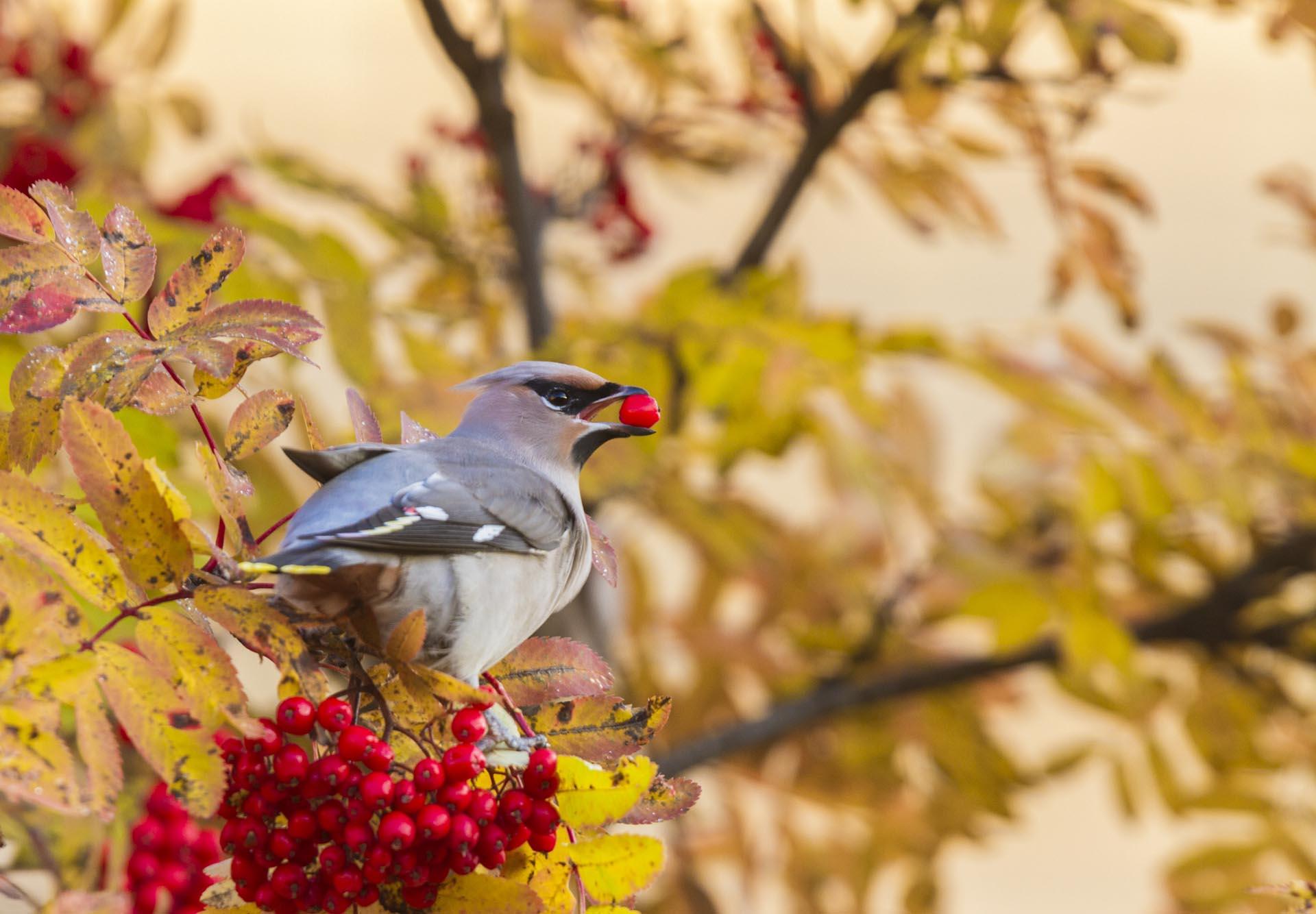 Waxwing sitting in a rowan tree eating rowan berries, having a rowan berry in his beak, Gällivare, Swedish Lapland, Sweden.