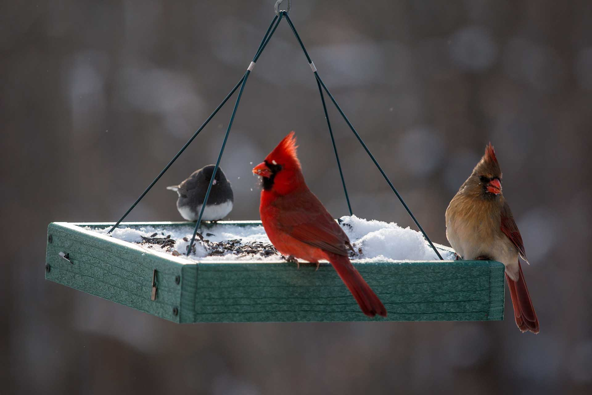 Pair of Red Cardinal Birds at a Feeder in the Winter Snow in Maryland Mid Atlantic USA.