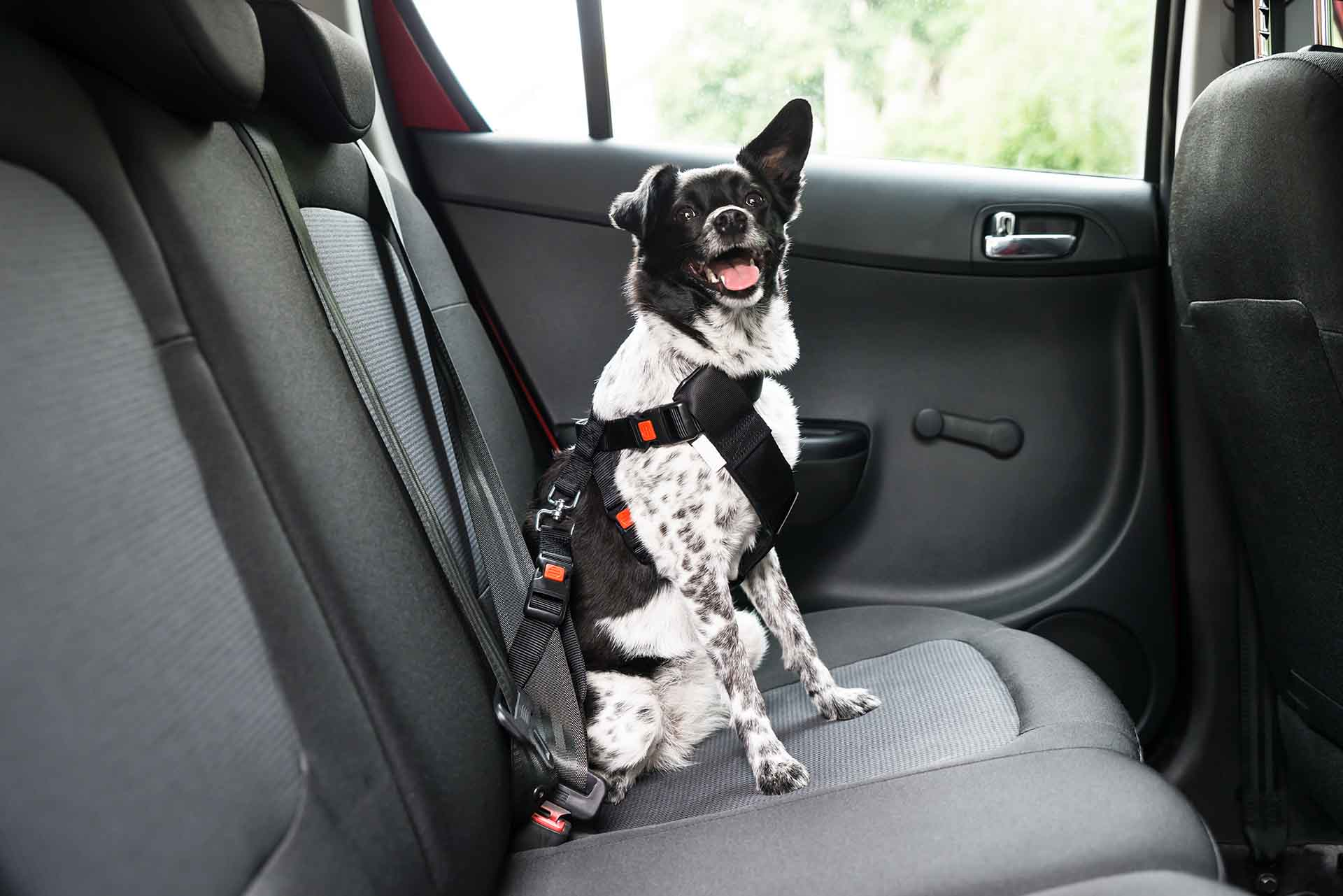 Dog With Sticking Out Tongue Sitting In A Car Seat with a seat belt on