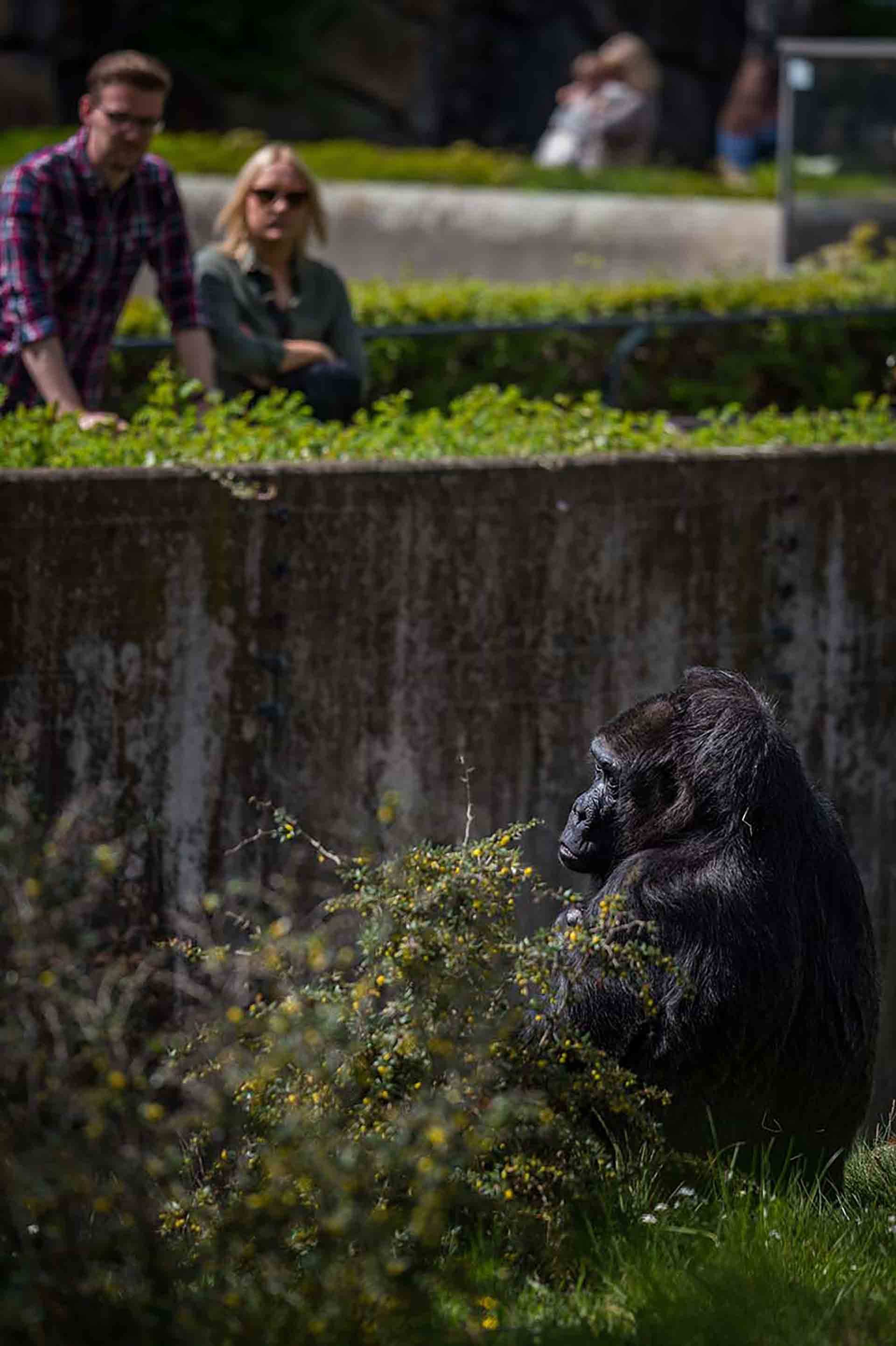 Visitors Watch A Gorilla At A Zoo In Germany