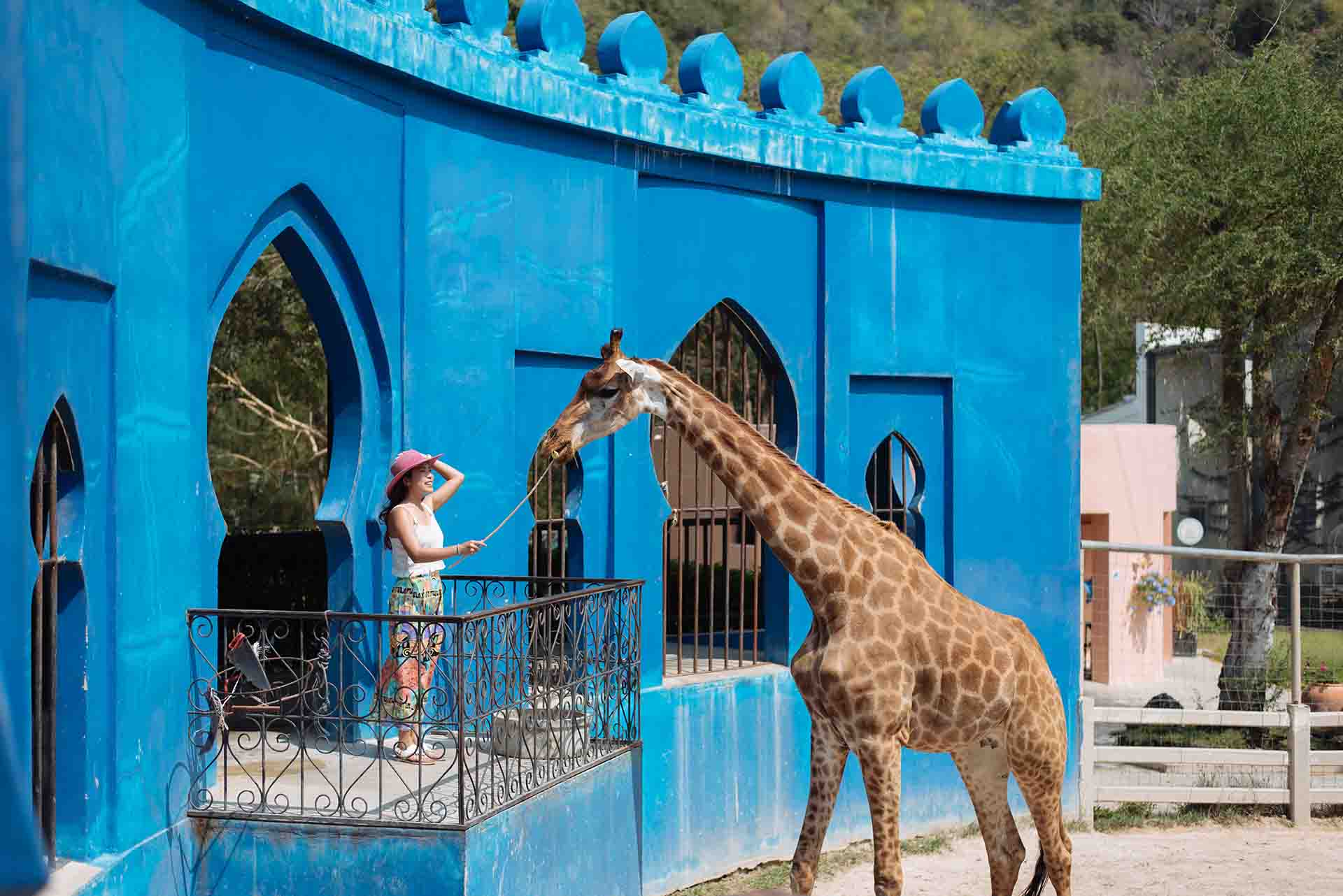 Person feeding a caged giraffe