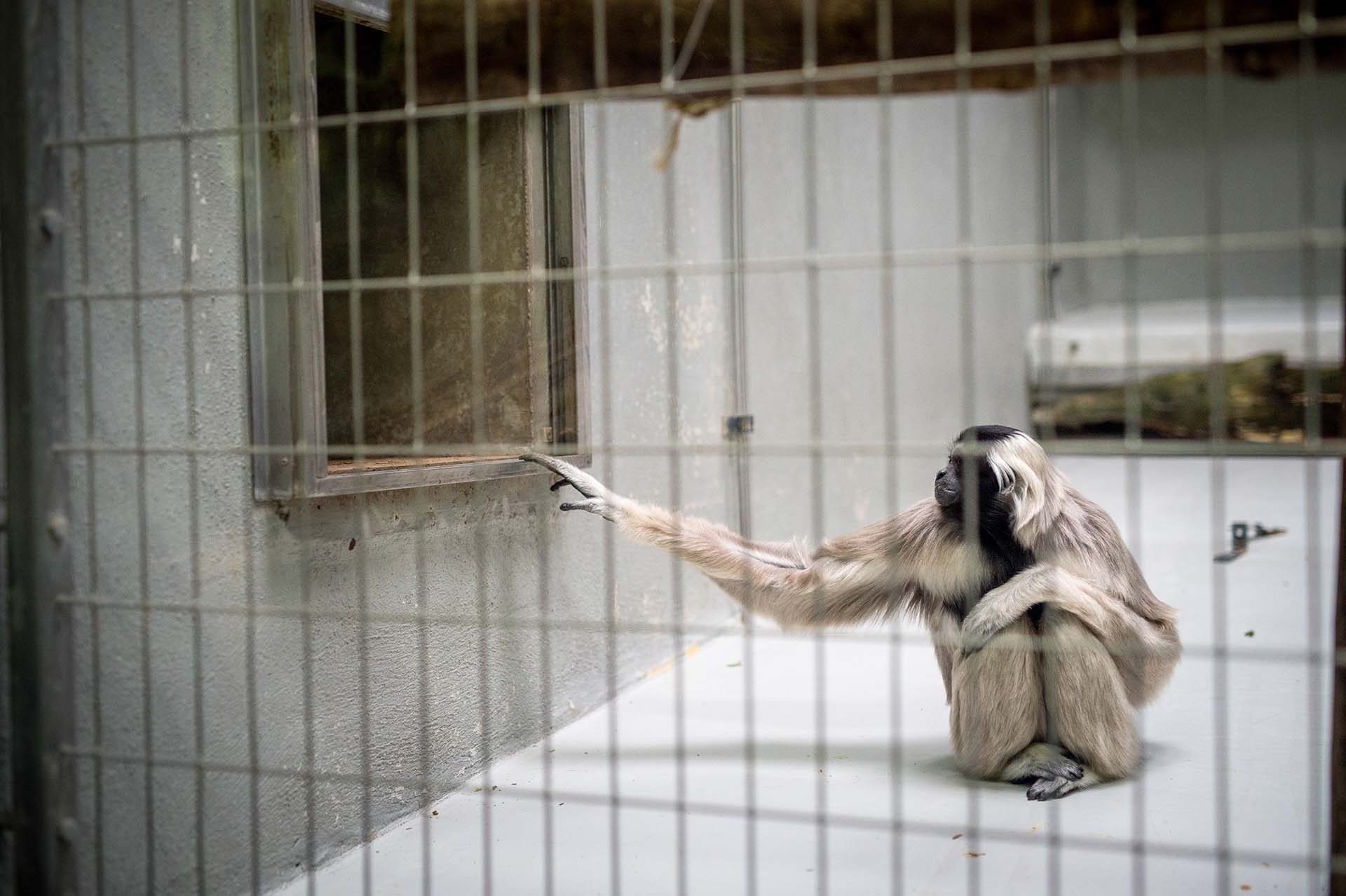 Pileated Gibbon At A Zoo In France