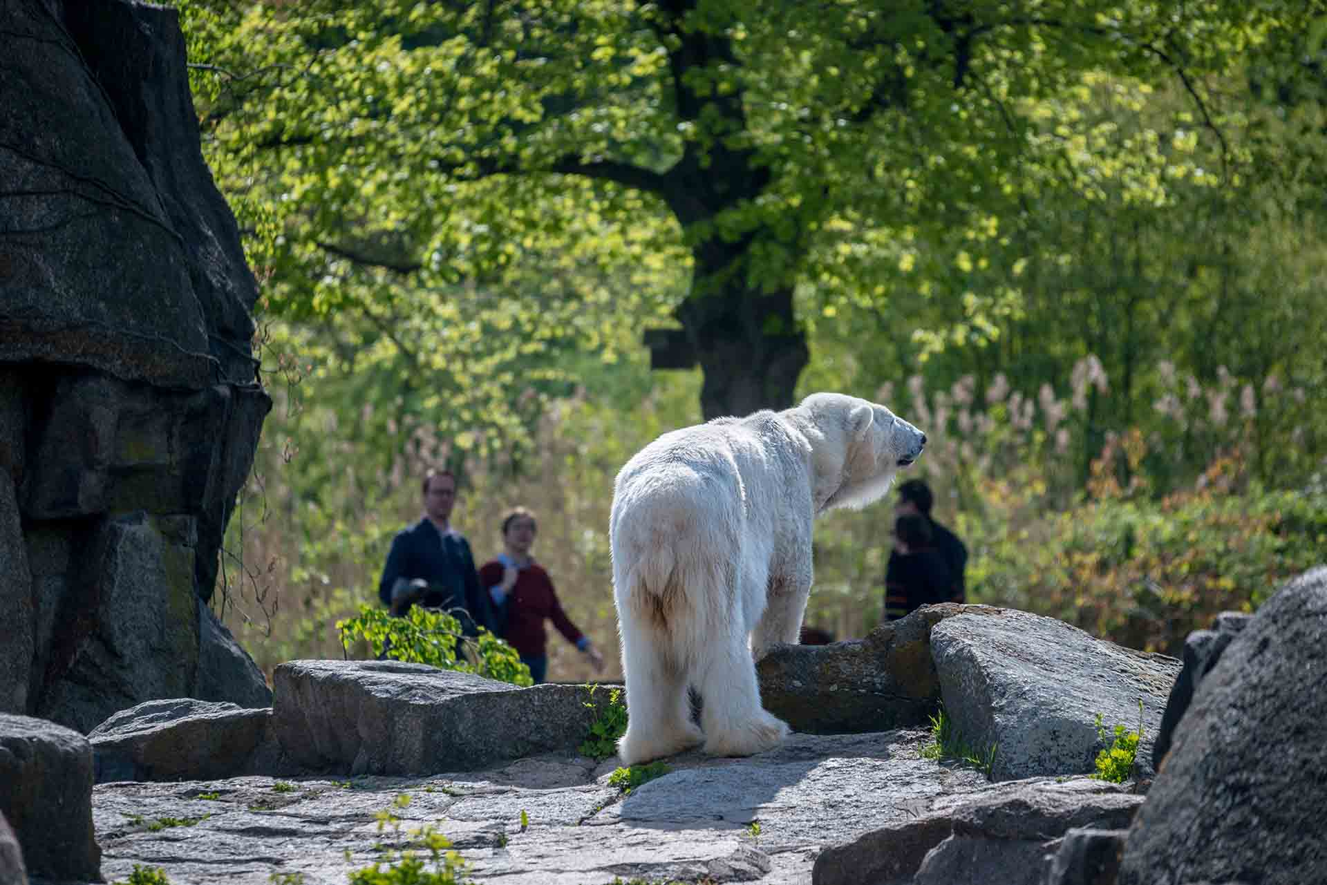 Polar Bear At A Zoo In Germany