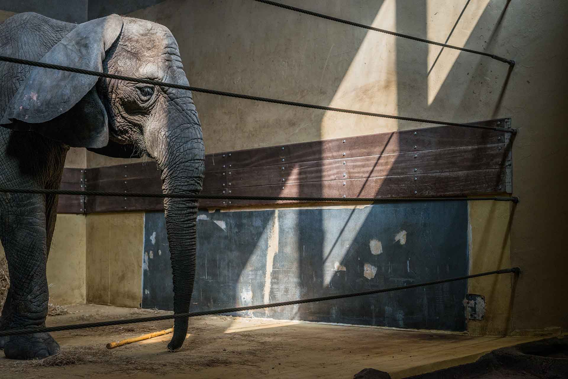 African Elephant At A Zoo In Denmark