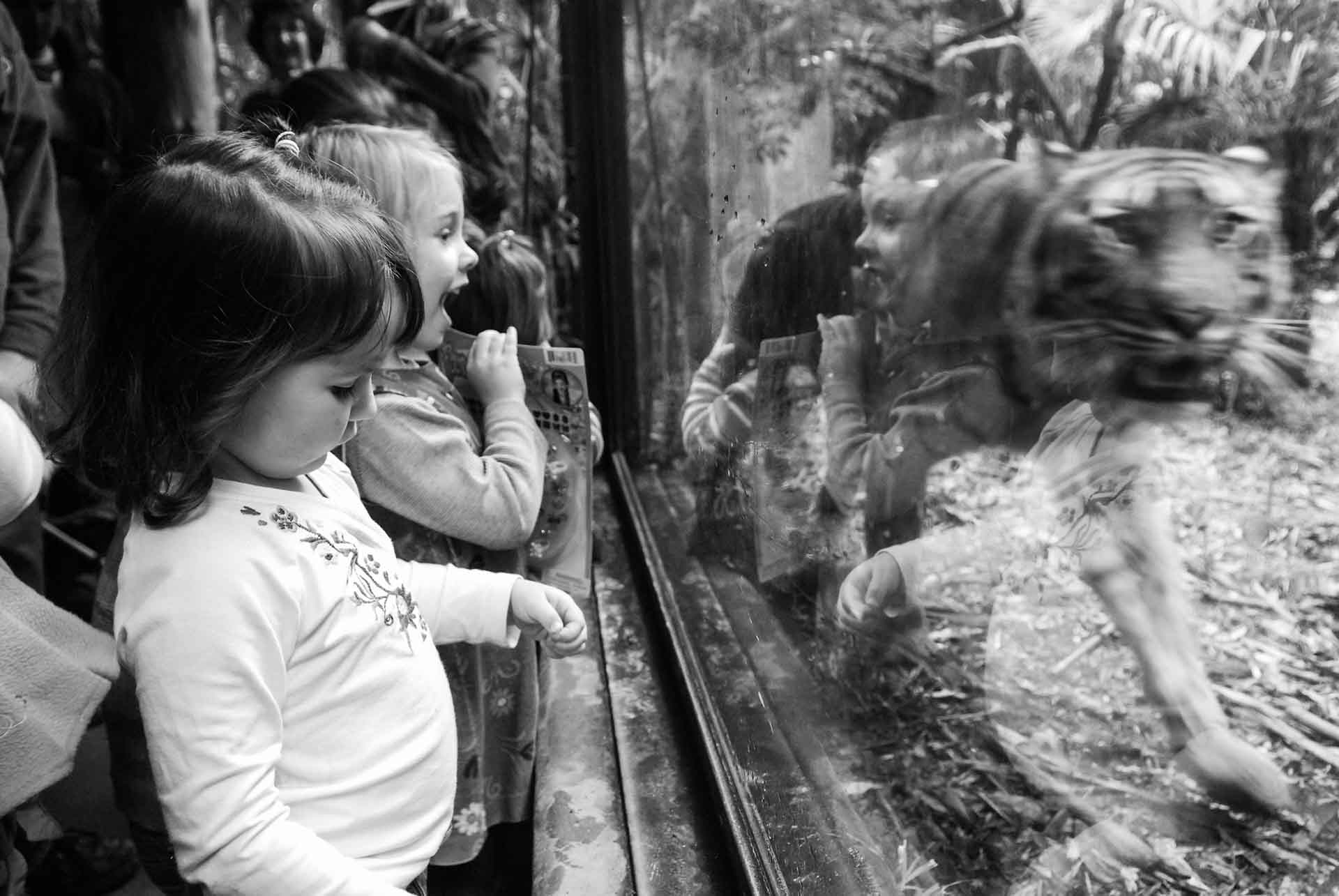 Children watching a pacing tiger