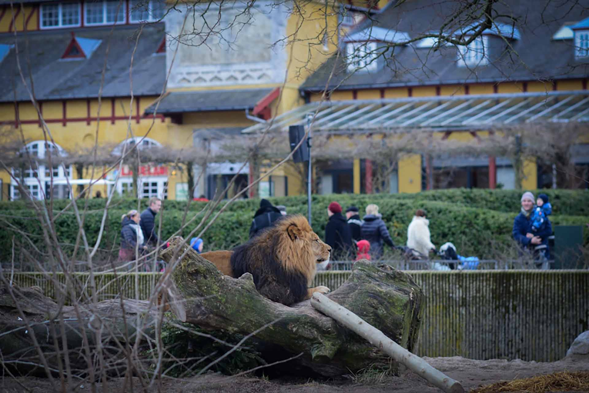 People watching a lion at the Copenhagen Zoo