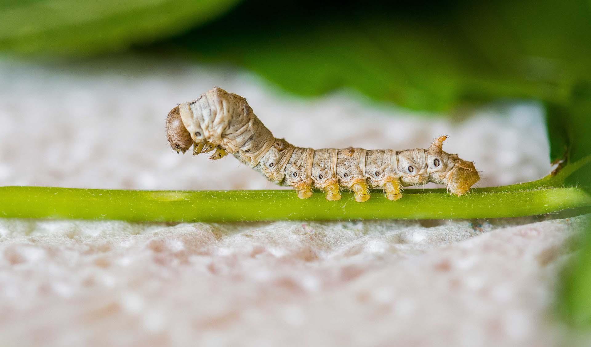 Silkworm sitting on green stem