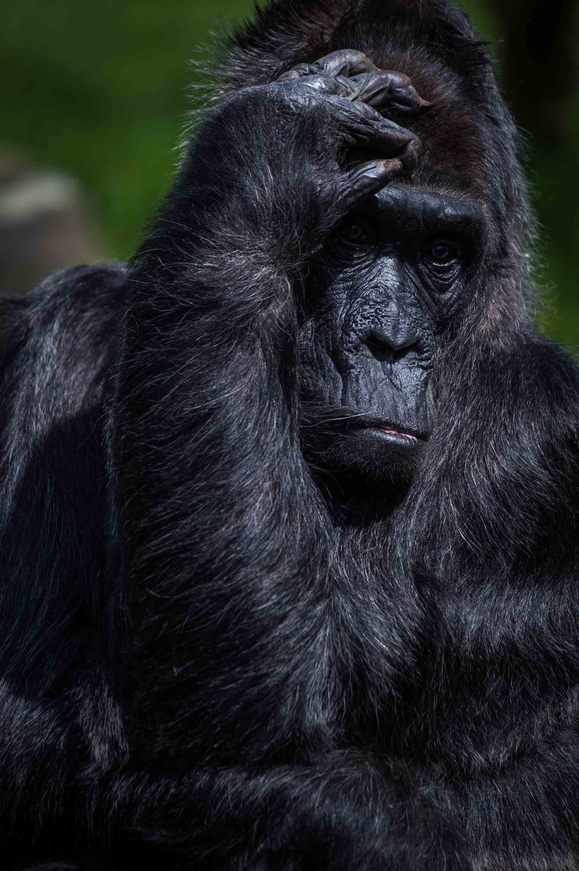 Gorilla At A Zoo In Germany