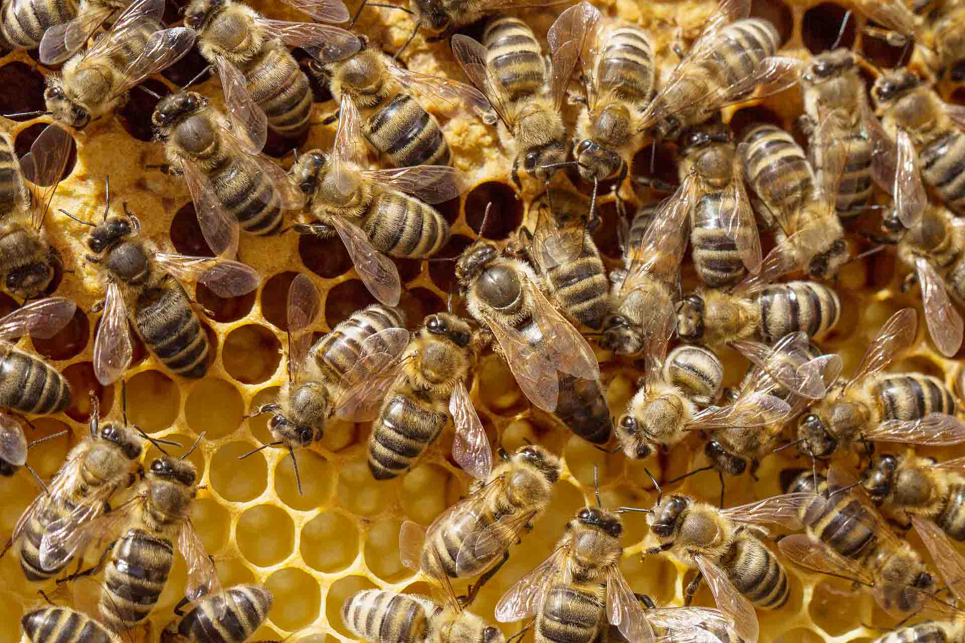 Hundreds of honeybees working on a honeycomb.