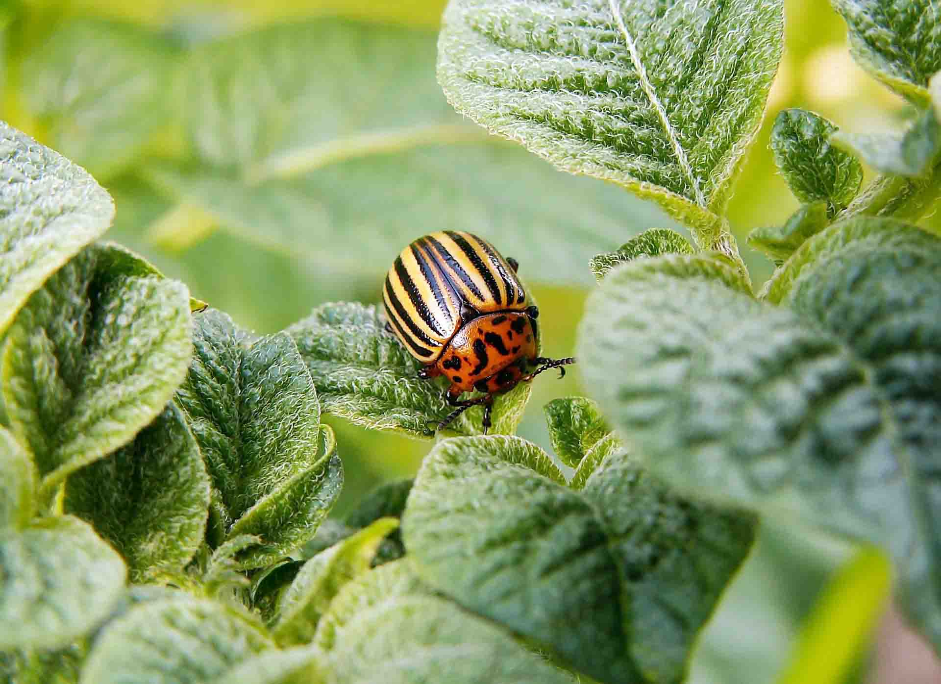 A red and yellow striped beetle sitting among a forest of green leaves
